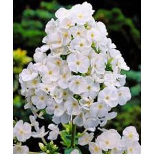 Флокс Бял - Phlox white