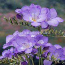 Фрезия Синя - Freesia Blue