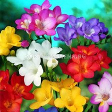 Фрезии - микс 100бр - Freesia - mix 100 pieces