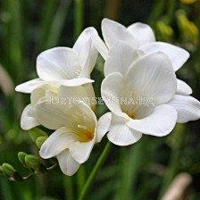 Фрезия Бяла - Freesia White