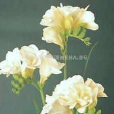 Фрезия Кичеста Бяла - Freesia white Kichesta
