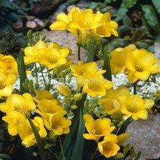 Фрезия Жълта - Freesia Yellow
