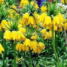 Фритилария - Fritillaria Imperialis Lutea