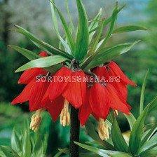Фритилария - Fritillaria Imperialis Rubra