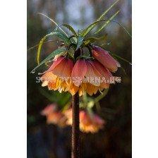 Фритилария /Fritillaria 'Satie''/ 1 бр