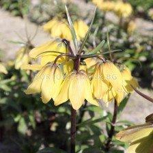 Фритилария / Fritillaria 'Helena' / 1 бр