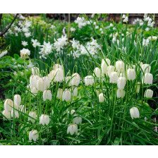 Фритилария / Fritillaria meleagris Alba/ 1 бр