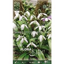 Кокиче Woronowii-Flora