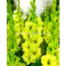 гладиол (Gladiolus) Evergreen