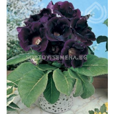 Глоксиния (Gloxinia) Hollywood- 3/4