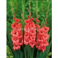 гладиол Applause - gladiolus Applause