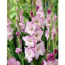 гладиол Belladonna - gladiolus Belladonna