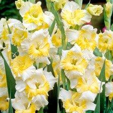 гладиол Buggy - gladiolus Buggy