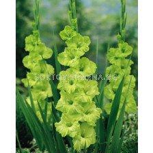гладиол Green Star - gladiolus Green Star