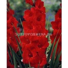 гладиол Hunting Song - gladiolus Hunting Song