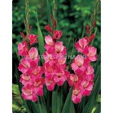 гладиол Invitation - gladiolus Invitation