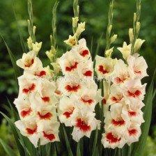 Гладиол (Gladiolus) Mary Housley 16+