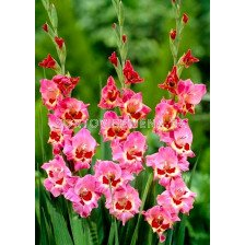 гладиол (Gladiolus) Cindy