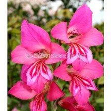 Гладиол Byzantinus ssp communis - 1бр