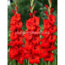 Гладиол (Gladiolus) Bonfire