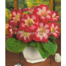глоксиния Tigrina Red (размер 3/4) - gloxinia Tigrina Red (size 3/4)