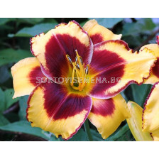 Хемерокалис (Hemerocallis) Don Stevens