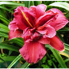 Хемерокалис (Hemerocallis) Double Firecracker