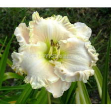 Хемерокалис (Hemerocallis) Gentle Sheperd