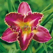 Хемерокалис (Hemerocallis) David Kirchoff