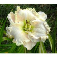 Хемерокалис (Hemerocallis) Gentle Sheperd