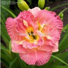 Хемерокалис (Hemerocallis) Lacy Doily