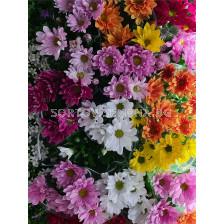 Хризантеми - малки - 1 бр.