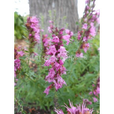 Хисоп за масло - Hyssopus officinalis (розов) 1 кг