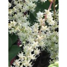 Марейска лоза /Anredera cordifolia/ 1 бр