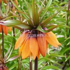 Фритилария / Fritillaria 'Sunset' / 1 бр