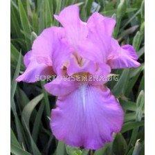Ирис Amethyst Flame - Iris Amethyst Flame