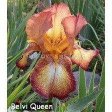 Ирис Belvi Queen - Iris Belvi Queen