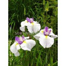 Ирис / Iris ensata Queens Tiara / 1 бр