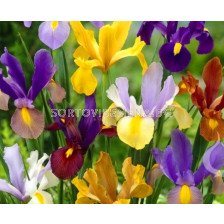 Ирис hollandica Микс - Iris hollandica Mix