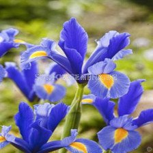 Ирис (Iris) Hollandica Professor Blauw