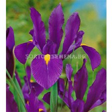 Ирис (Iris) Hollandica Purple Sensation