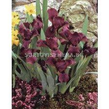 Ирис (Iris ) Pumila - Cherry Garden (15-30 см)