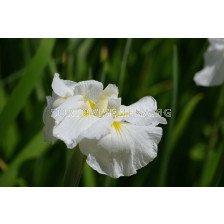 Ирис / Iris ensata Gold Bound / 1 бр