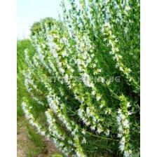 Хисоп за масло - Hyssopus officinalis (бял) 1 кг