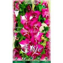 гладиол (Gladiolus) Dared