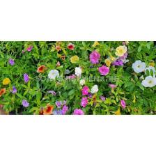 Калибрахое различни цветове (разсад)