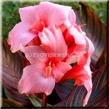 канна Розова - canna Pink