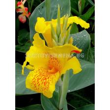 канна Жълта - canna Yellow