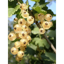 Касис бял - white currant