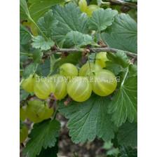 Касис (Ribes Uva-Crispa Hinnonmäki Grön)